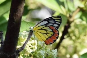 Mariposas macho eliminan competidores apestando a sus parejas