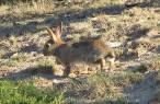 El gran olvidado de la gestión del campo es el 'conejo'