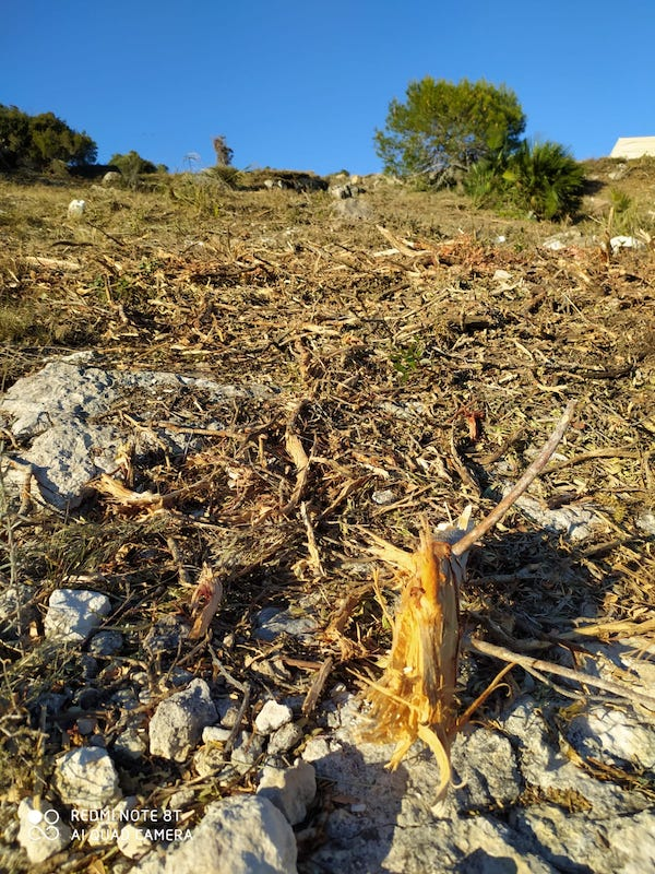 Vinaròs. Silvicultura agresiva en el Puig de la Misericordia