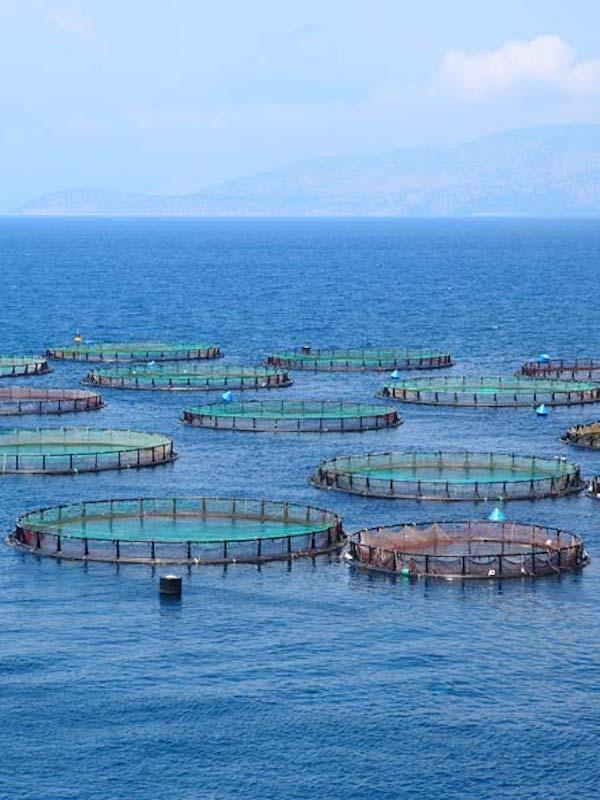 Argentina prohíbe la cría de salmones