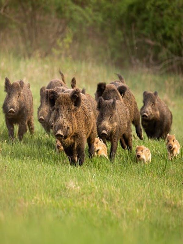 La 'plaga' de la peste porcina africana