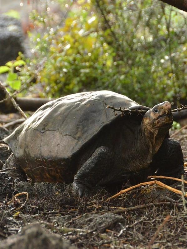 El enorme problema de las tortugas gigantes de Galápagos con los antibióticos