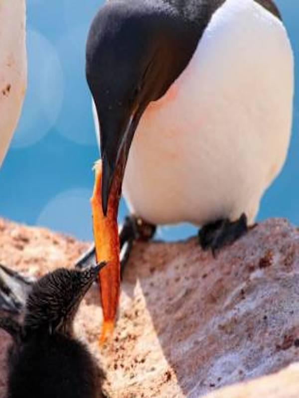 Calentamiento Global, las aves de Ártico indefensas