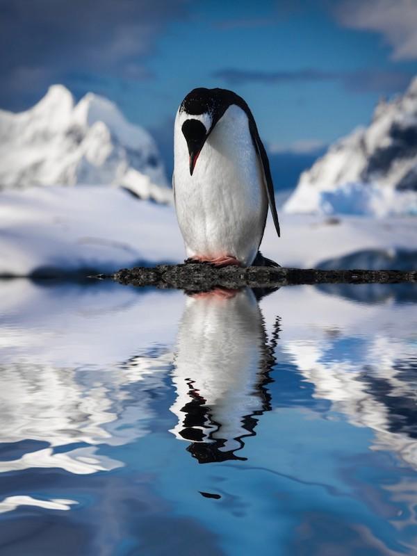 Menú del día: Pingüinos de la Antártida 'rellenos de microplasticos'