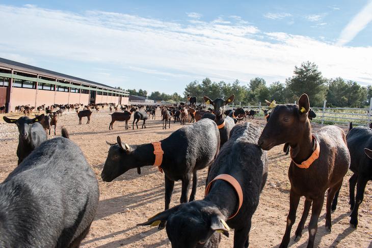 Cantero de Letur sigue apostando por la leche ecológica de cabra en su nueva granja