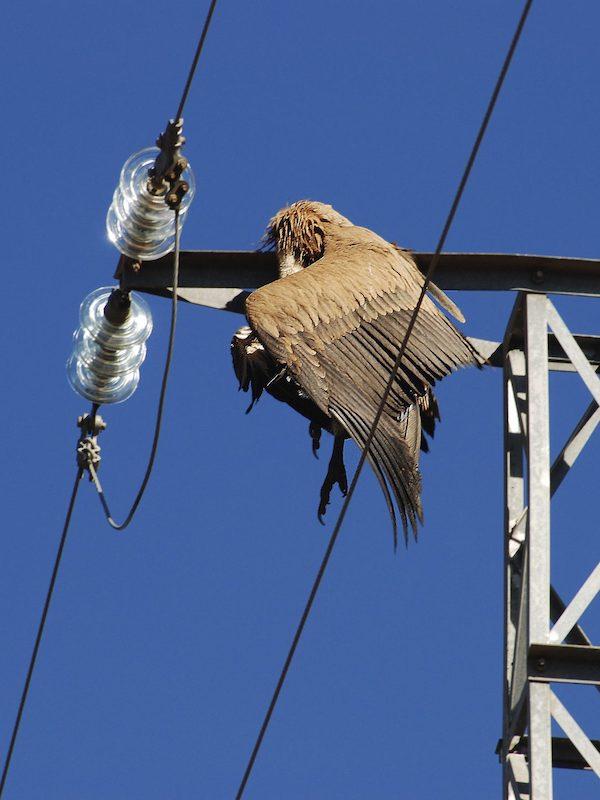 1er proceso penal abierto por electrocución de avifauna