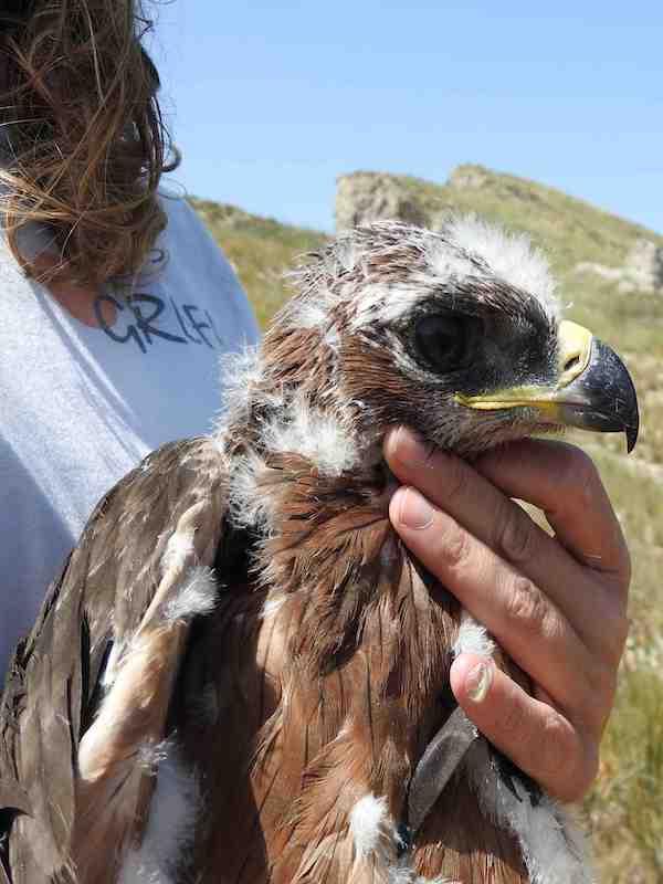 Trasladan tres águilas de Bonelli de Sicilia a Cerdeña