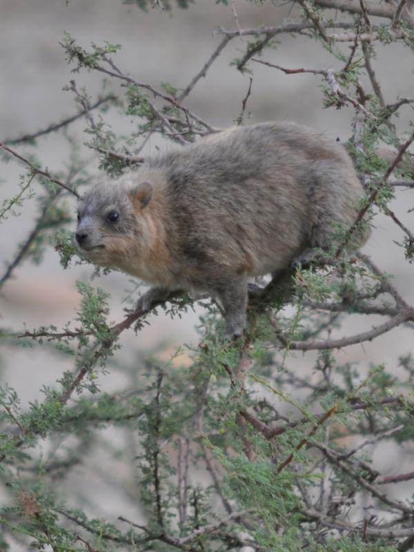 ¿Qué son los hyraxes de los árboles que viven entre los ríos Volta y Níger?
