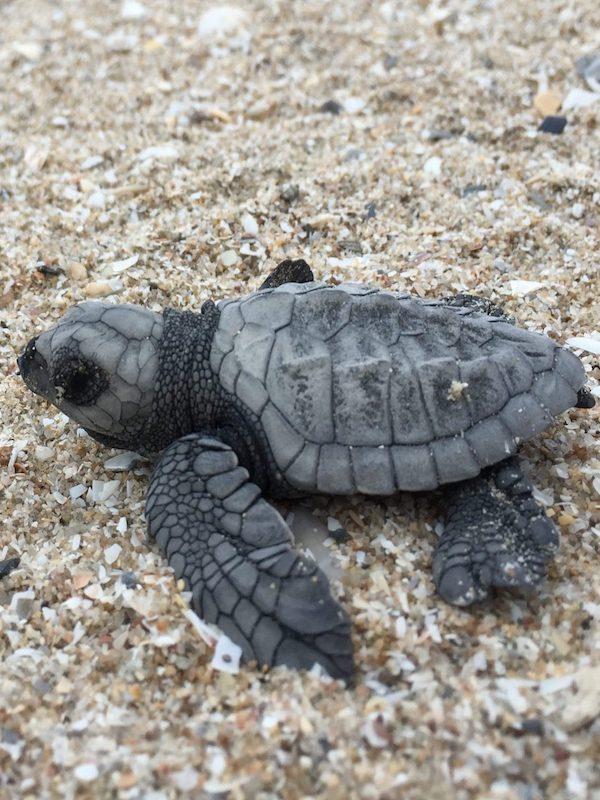 Conocimiento indígena en 'alianza' con la Inteligencia Artificial protege a las crías de tortugas marinas de los depredadores