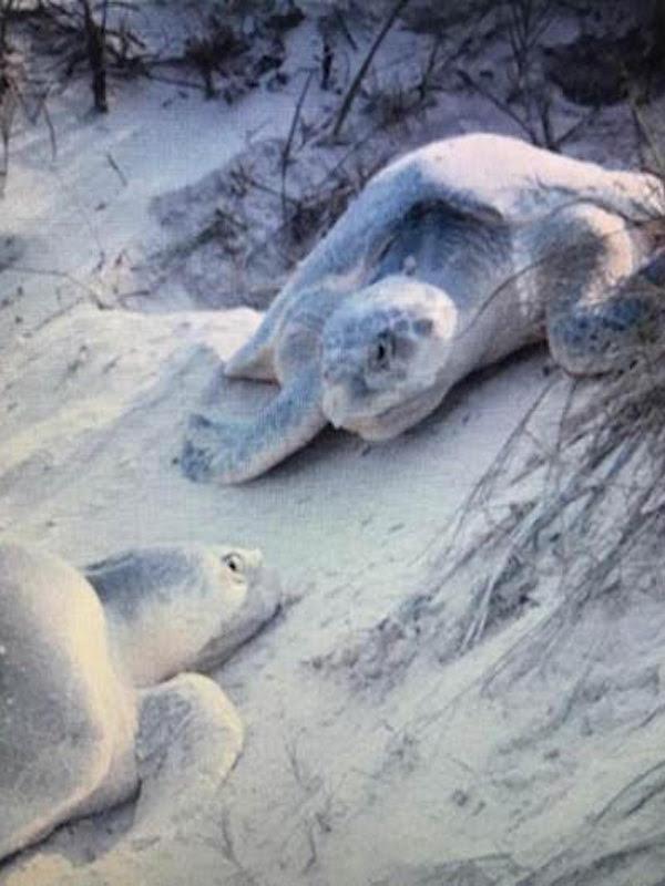 México alberga seis especies de tortugas marinas