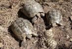 Miles de tortugas moras mueren en un centro de recuperación de Andalucía
