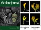 Identifican por primera vez un gen que controla el número de flores en las leguminosas
