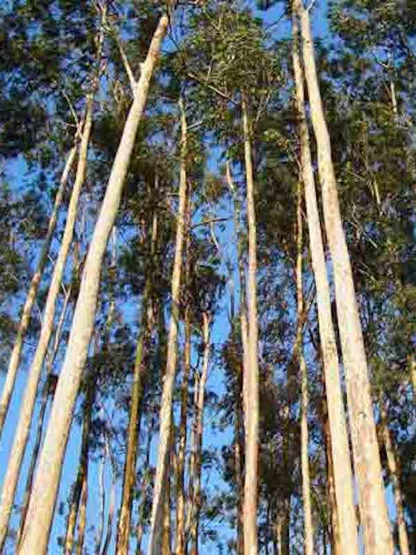 La moratoria al eucalipto en Galicia, referente y exigencia para las comunidades autónomas del norte de España