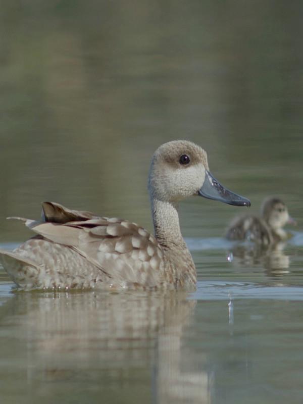 El proyecto LIFE Cerceta Pardilla miles de hectáreas de humedales para revertir el riesgo de extinción del pato más amenazado en Europa