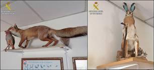 Intervenidos siete animales silvestres disecados de procedencia no acreditada en un refugio de cazadores de Santa Pola
