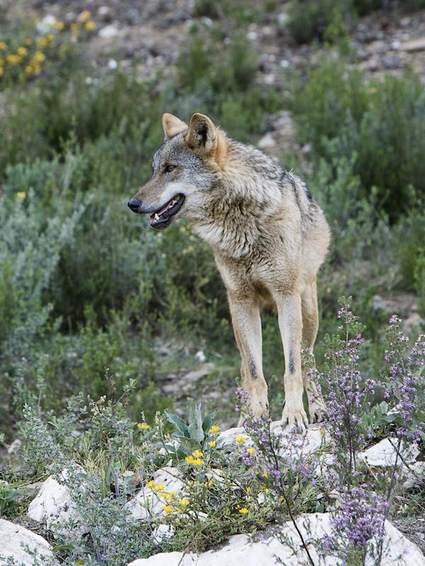 Las ONG de Portugal exigen la inclusión del lobo en el Listado de Especies de Protección Especial