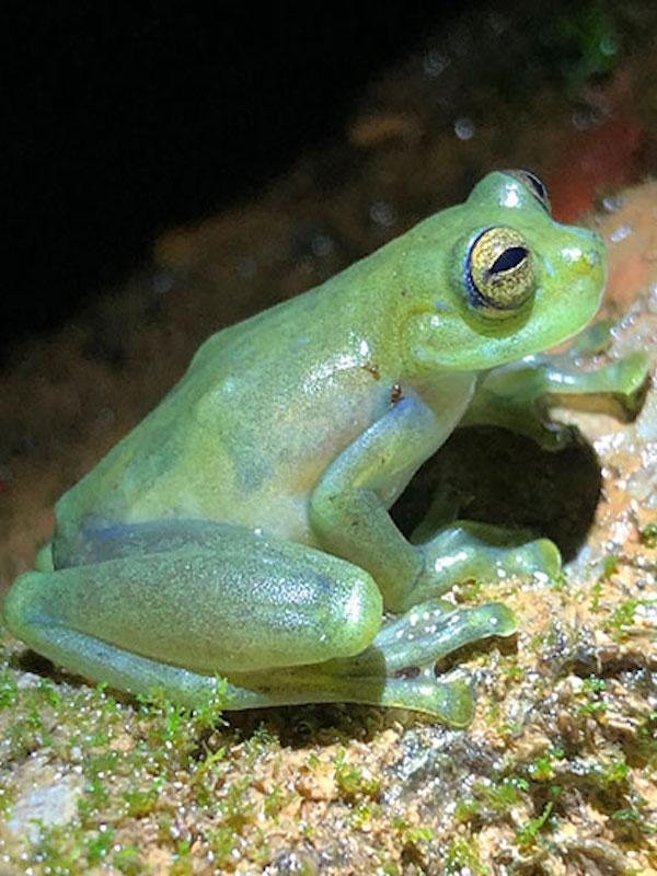 """Una especie de rana de cristal """"baila"""" para atraer la atención de las hembras en un hábitat ruidoso"""
