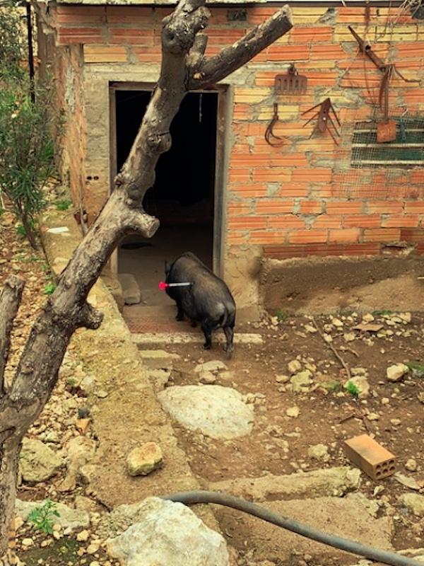 Reubican a un grupo de cerdos vietnamitas que vivía en un terreno privado en Cunit, Tarragona