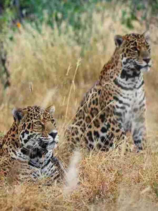 México libera dos jaguares hembra en su hábitat natural