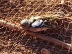 Good News: 'última sentencia del TJUE que rechaza el uso de métodos tradicionales prohibidos para la captura de aves silvestres'