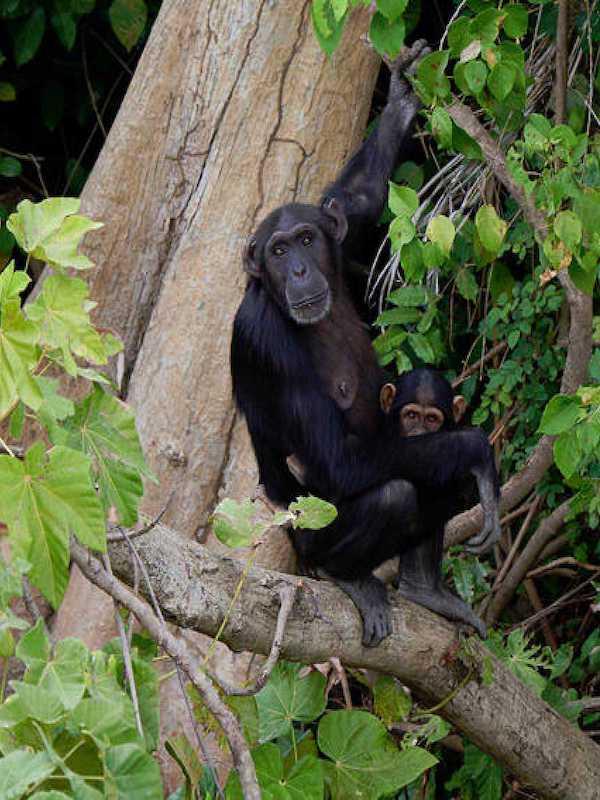 Los antibióticos que toma el ser humano pone en peligro a los chimpancés salvajes