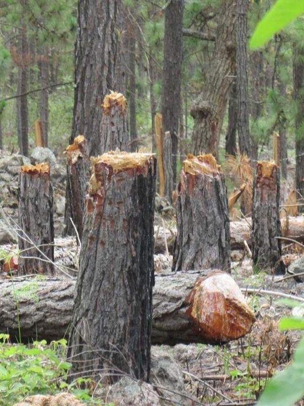 Estudio sobre el aumento de tala de árboles en Europa