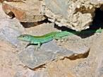 Aportan fondos para la protección de la lagartija y el sapo en Ibiza