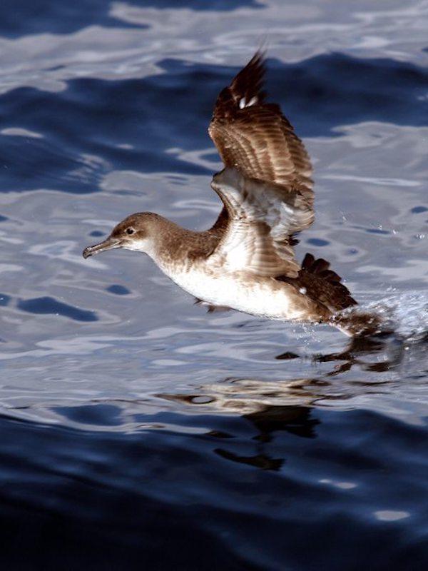 Fundación Biodiversidad 'vela' por la protección de la pardela balear