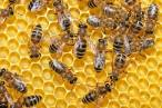 Bayer se 'emperra' en perjudicar a las abejas