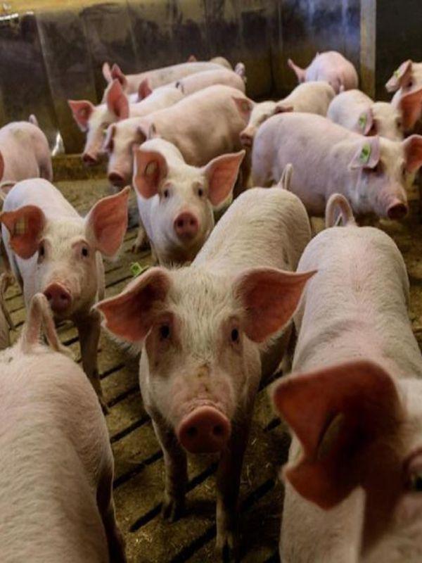 El uso y abuso de antibióticos en las granjas porcinas