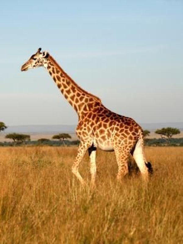 ¿Cuántas especies de jirafa hay en Planeta?