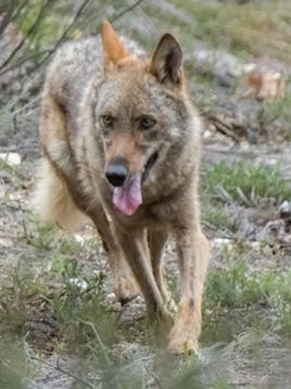 España afirma que el procedimiento para prohibir la caza del lobo en toda España ha sido 'inmaculado'