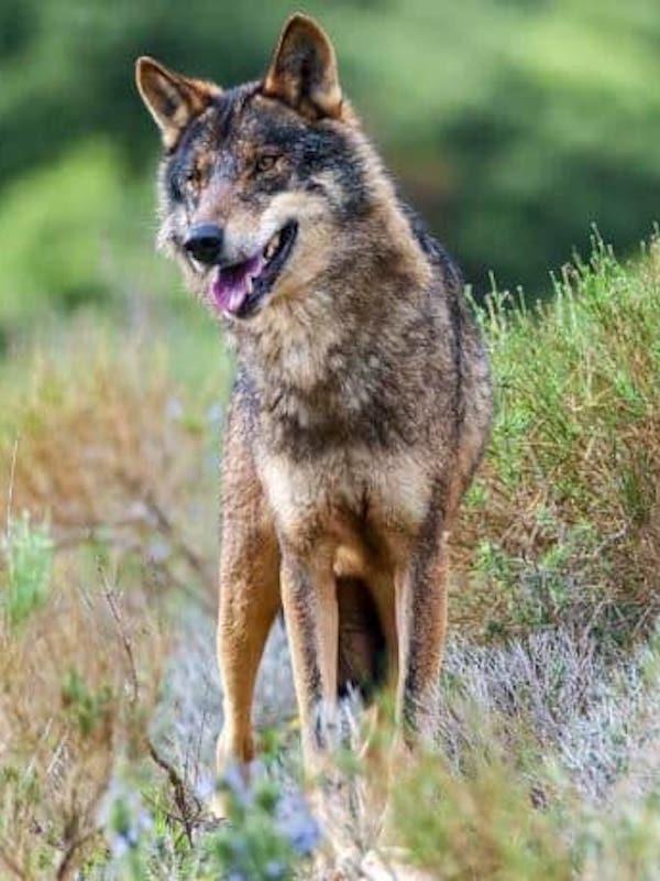 Indignante, Castilla y León subasta la caza de 12 lobos