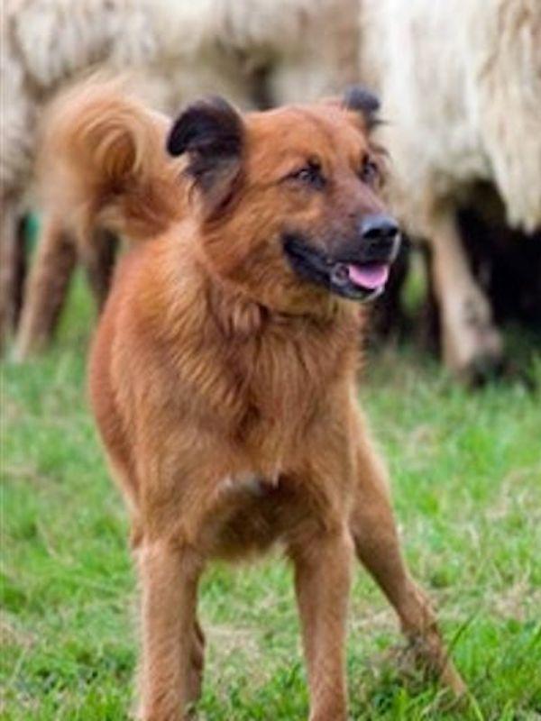 Los agricultores y ganaderos madrileños y pide declarar a los perros pastores Patrimonio Cultural autonómico