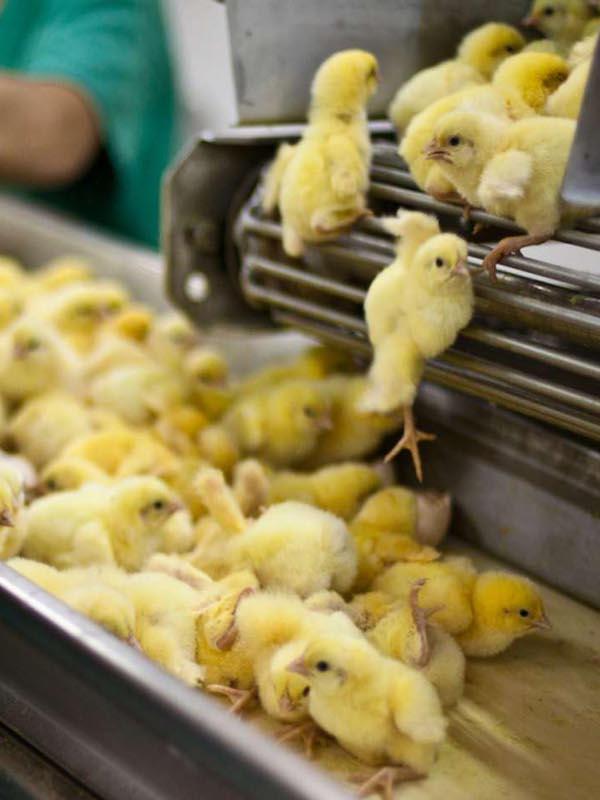Iniciativa para prohibir el sacrificio de pollitos en Brasil