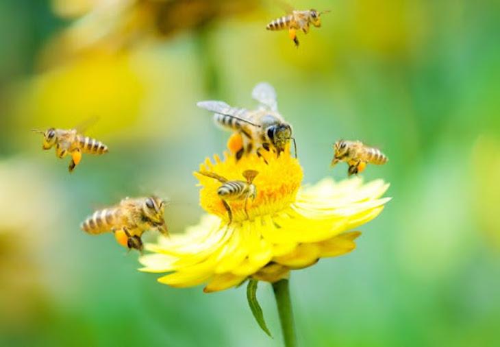 Tecnología verde, preparan una herramienta para analizar el estado de conservación de abejas