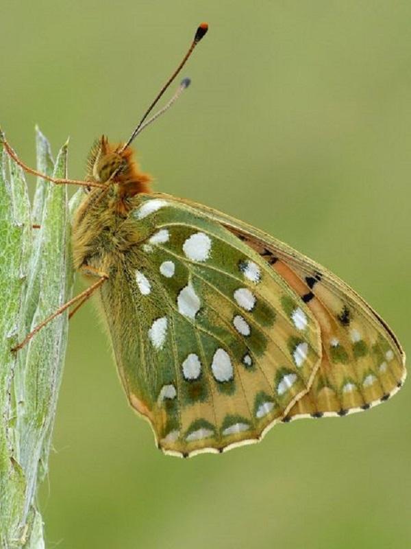 Calentamiento global, las diferencias locales ayudan a las mariposas a adaptarse