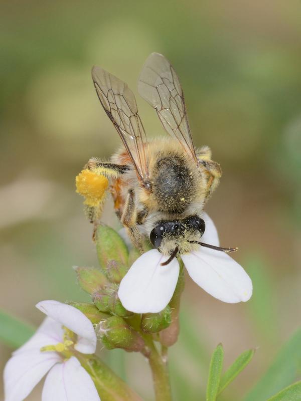 Pequeñas, laboriosas y eficaces, las especies polinizadoras dan vida