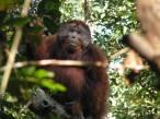 Los orangutanes y su extraordinaria llamada