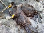 ¿Matar cormoranes por la pesca deportiva?