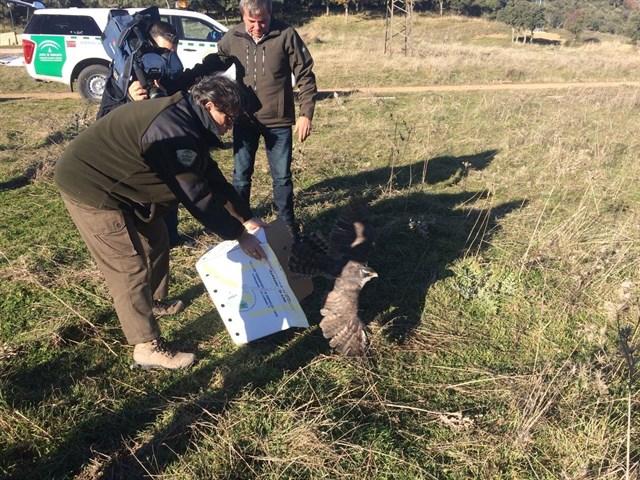 Andalucía libera en el Parque Natural de Despeñaperros dos buitres leonados y un azor