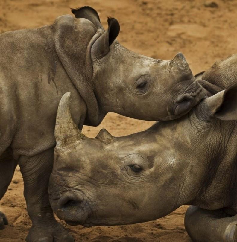 Más de 1.200 rinocerontes mueren cada año a manos de cazadores furtivos y piden que se aplique el CITES, según WWF