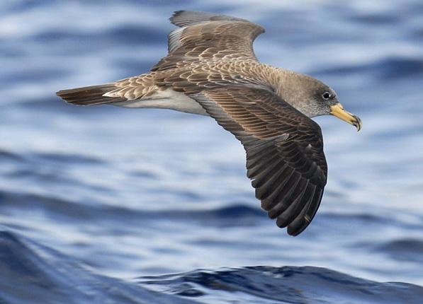 El Cabildo de Fuerteventura insta a la conservación de la pardela