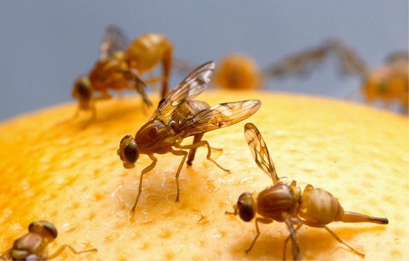 Las señales de la insulina modifican las feromonas de la mosca de la fruta