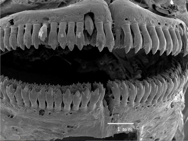 Peces australianos confirman la convergencia de la teoría evolutiva