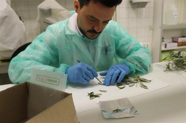Menorca registra 16 positivos de la bacteria 'Xylella fastidiosa'