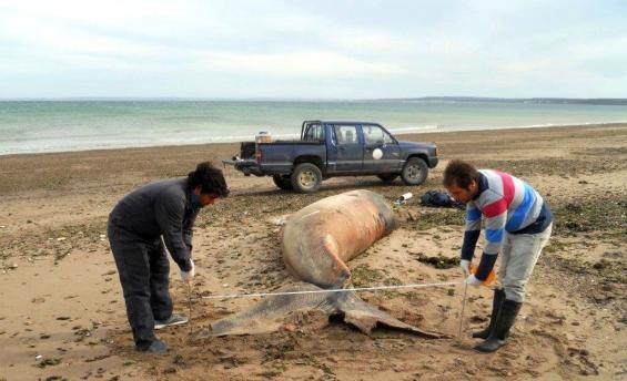 Argentina: Ya se encontraron nueve crías de ballenas muertas en Península Valdés