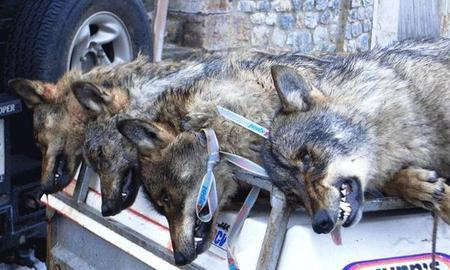 Asturias. Nuevos controles de lobo en el Parque Nacional de Picos