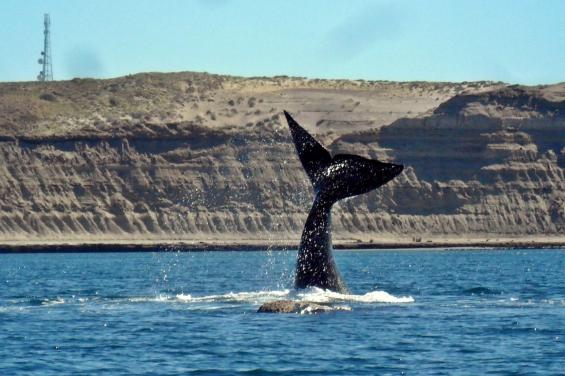 Argentina. El 17 de junio se lanza la temporada de ballenas en Puerto Pirámides