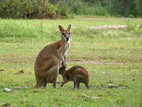 Los ancestros de los canguros australianos modernos eran sudamericanos